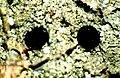 Bacidia schweinitzii-9.jpg
