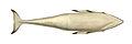 Balaenopteraacutorostrata.jpg