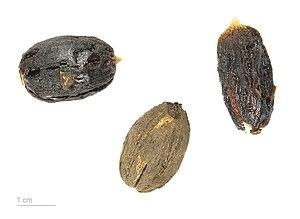 Balanites aegyptiaca - Balanites aegyptiaca - MHNT