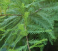 Bald Cypress Leaves 2264px.jpg