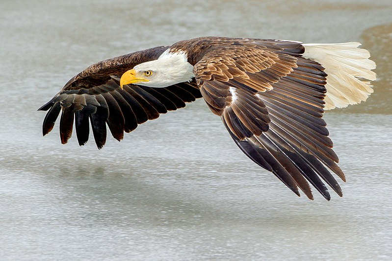 Bald Eagle flying over ice (Southern Ontario, Canada).jpg