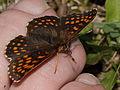 Baldrian-Scheckenfalter (Nymphalidae- Melitaea diamina) (7563846126).jpg