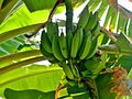 Bananafruit.jpg