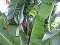 BananenMadeira.jpg