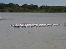a flock of a few hundred brown and white birds in a shallow lake