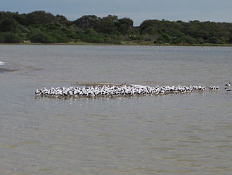 Coorong National Park - Image: Banded Stilts at the Coorong