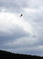 Banff Osprey 2 (222388469).jpg