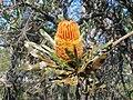 Banksia menziesii Apr 07.jpg