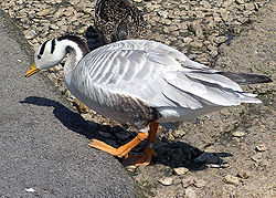 Bar-headed.goose.slimbridge.arp.jpg