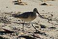 Bar-tailed Godwit - Flickr - GregTheBusker.jpg
