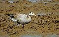 Bar Headed Goose (24395038455).jpg