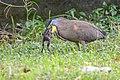Bare-throated Tiger-Heron (46237090652).jpg