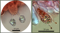 Baside (Entoloma incarnatofuscescens).png