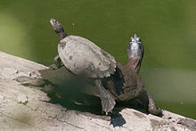 Basking False Map Turtles (Graptemys pseudogeographica).jpg