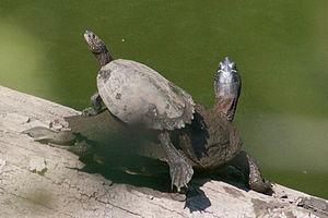 False map turtle - Image: Basking False Map Turtles (Graptemys pseudogeographica)