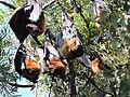 Bats, Pinjor Garden,Haryana , India 01.JPG