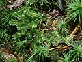 Bazzania trilobata 130108.jpg