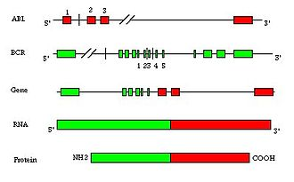 Fusion protein - Fusion of two genes (BCR-ABL) to encode a recombinant oncogenic protein.