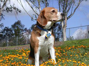 Purebred dog - A purebred beagle