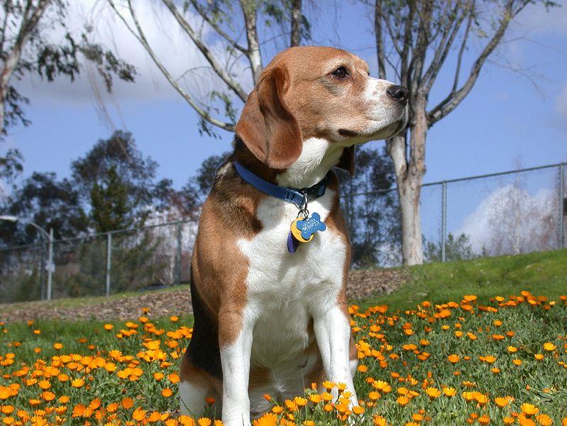 Beagle cinsi köpek resimleri-Beagle cinsi köpek fotoğrafları
