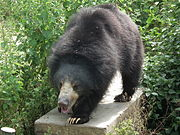 Bear - Melursus ursinus at Bannerghatta National Park 8469.JPG