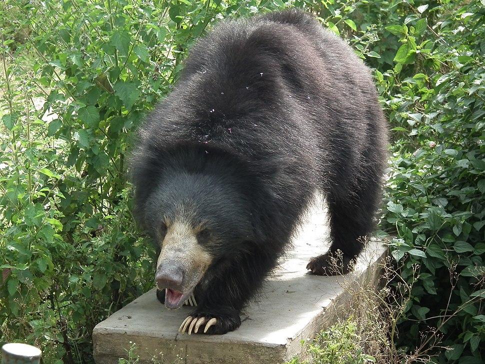 Bear - Melursus ursinus at Bannerghatta National Park 8469