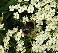 Bee (28082448316).jpg