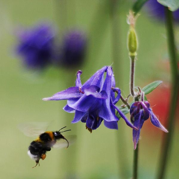 En humla som är på väg att utföra en ekosystemtjänst: Pollinering.