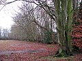 Beeches growing on old ridge boundary - geograph.org.uk - 1080857.jpg