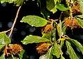Beechmast, Lisburn - geograph.org.uk - 2063023.jpg