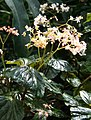Begonia brachypoda IMG 1339.jpg