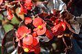 Begonia semperflorens - Alipore - Kolkata 2013-02-10 4784.JPG
