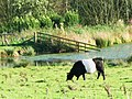 Belted Galloway grazing by the lake near Halton - geograph.org.uk - 1040191.jpg