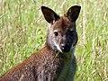 Bennett's wallaby (Macropus rufogriseus fructica) (9275669324).jpg