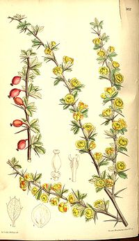 Berberis dictyophylla