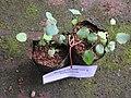 Berberis tinctoria-1-bsi-yercaud-salem-India.jpg