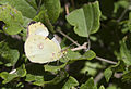 Berger's Clouded Yellow - Colias sareptensis 01.jpg