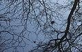 Berkentakken (Betula) met heksenbezems reflecteren bij zonsopgang in sloot. Locatie, De Famberhorst 01.jpg