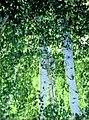 Betula aetnensis.jpg