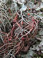 Biatoropsis usnearum Räsänen 407231.jpg
