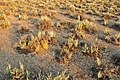 Biological soil crust at base of Wyoming Big Sagebrush Seedskadee NWR 02 (14880578269).jpg