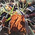 Birch leaf in the sun.jpg