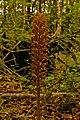 Bird's-nest Orchid (Neottia nidus-avis) - geograph.org.uk - 847189.jpg