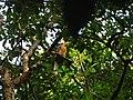 Bird White throated Brown Hornbill Anorrhinus austeni IMG 8142 07.jpg