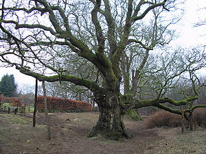 Natural history of Scotland - The Birnam Oak located in the Tay Valley.