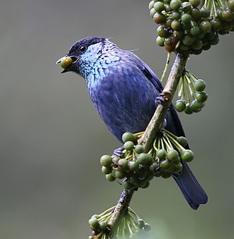 Black-capped tanager - Tandayapa Valley, NW Ecuador