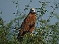Black-collared Hawk (16500259086).jpg