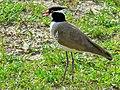Black-headed Lapwing (Vanellus tectus) (6937099166) (2).jpg