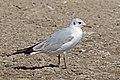 Black-headed gull (Chroicocephalus ridibundus) winter plumage Ethiopia.jpg