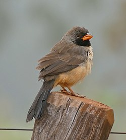 Black-throated Saltator (Saltator atricollis) (29180452582).jpg